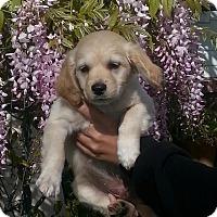 Adopt A Pet :: Gunner - Santa Barbara, CA
