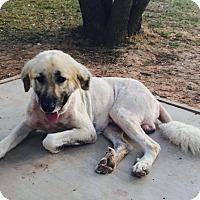 Adopt A Pet :: Sarge - Wichita Falls, TX