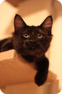 Domestic Mediumhair Cat for adoption in Edmond, Oklahoma - Kevin
