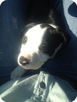 Mastiff/American Pit Bull Terrier Mix Puppy for adoption in bridgeport, Connecticut - Buccaneer