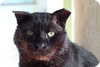 Domestic Shorthair Cat for adoption in Chicago, Illinois - Gorilla Biscuit