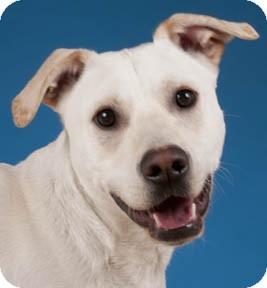 Labrador Retriever/Terrier (Unknown Type, Medium) Mix Dog for adoption in Chicago, Illinois - Pilot