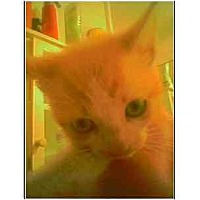 Adopt A Pet :: Red and white tabby - Owasso, OK