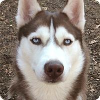 Adopt A Pet :: Lakota Red Cloud - Horsham, PA