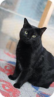 Domestic Shorthair Cat for adoption in Metairie, Louisiana - Ebony