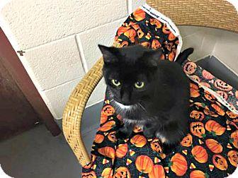 Domestic Shorthair Cat for adoption in Flint, Michigan - Princess