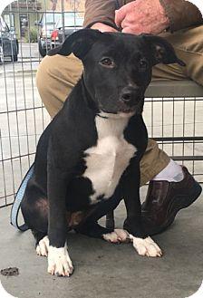 German Shepherd Dog Mix Puppy for adoption in Modesto, California - Jennifer