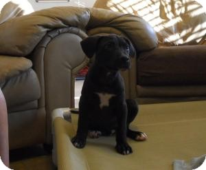 American Pit Bull Terrier Puppy for adoption in Killen, Alabama - Mack