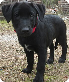 Belgian Malinois/Labrador Retriever Mix Puppy for adoption in Forked River, New Jersey - Willow