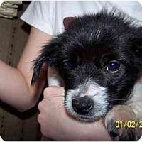 Adopt A Pet :: Cookie - Honaker, VA