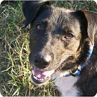 Adopt A Pet :: Lacy - Albany, NY
