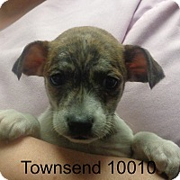 Adopt A Pet :: Townsend - Greencastle, NC