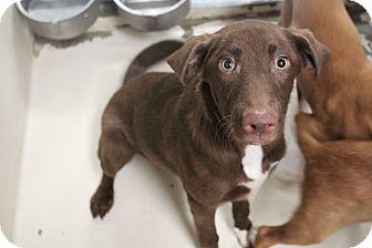 Labrador Retriever/Shepherd (Unknown Type) Mix Dog for adoption in Middlebury, Connecticut - Tucker