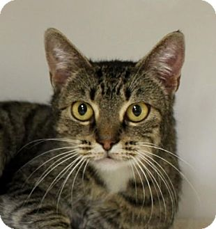 Domestic Shorthair Cat for adoption in Red Bluff, California - Elsa