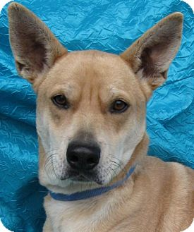 Shepherd (Unknown Type)/Terrier (Unknown Type, Medium) Mix Dog for adoption in Cuba, New York - Bingo Goodman