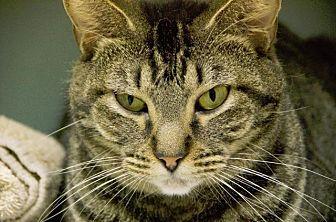 Domestic Shorthair Cat for adoption in Houston, Texas - AVA (TABBY)