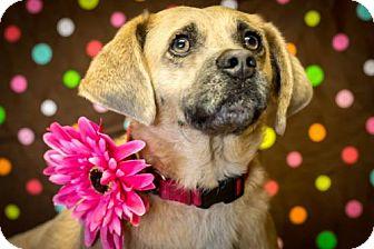 Pug/Beagle Mix Dog for adoption in Glastonbury, Connecticut - Camilla