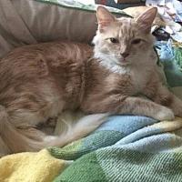 Adopt A Pet :: Cream Puff - St. Cloud, FL