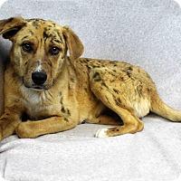 Adopt A Pet :: Arrow - Westminster, CO