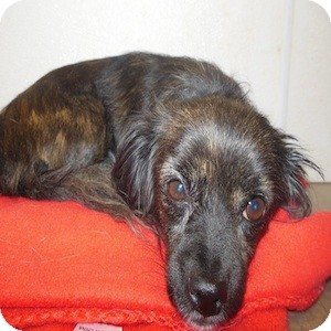 Cavalier King Charles Spaniel/Dachshund Mix Dog for adoption in Phoenix, Arizona - Tallulah