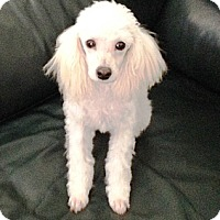 Poodle (Toy or Tea Cup) Puppy for adoption in Dover, Massachusetts - Meri