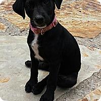Adopt A Pet :: Macie - Plainfield, CT