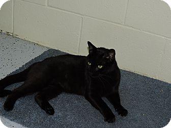 Domestic Shorthair Cat for adoption in Washington, Georgia - Clash