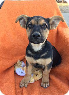 German Shepherd Dog Mix Puppy for adoption in Studio City, California - Hazel