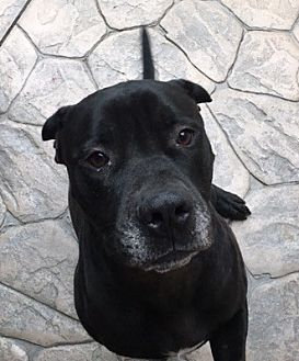 American Staffordshire Terrier/Labrador Retriever Mix Dog for adoption in Dana Point, California - Big Mac