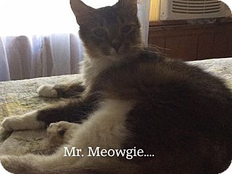 Domestic Shorthair Cat for adoption in Somerset, Kentucky - Mr. Meowgie