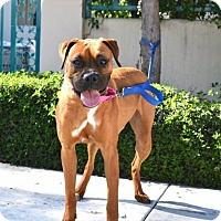 Adopt A Pet :: Holly - Alameda, CA