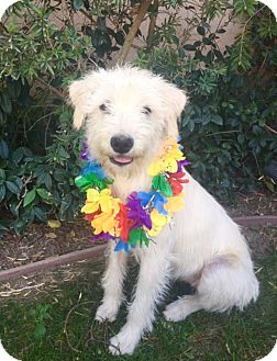 Wheaten Terrier Mix Puppy for adoption in Irvine, California - CANDY