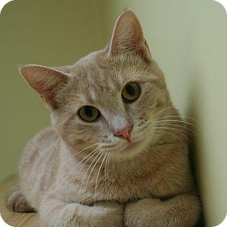 Domestic Shorthair Cat for adoption in Edmonton, Alberta - Tanner