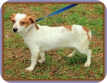 Dachshund/Chihuahua Mix Dog for adoption in Brattleboro, Vermont - Longfellow (In New England)
