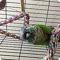 Adopt A Pet :: Polly - Punta Gorda, FL