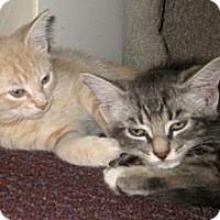 Adopt A Pet :: Amaretto - Dallas, TX