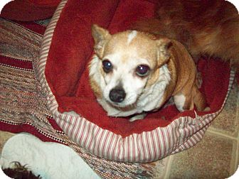 Chihuahua Dog for adoption in Butler, Ohio - Penny Lane