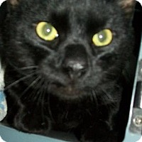 Domestic Shorthair Cat for adoption in Waupaca, Wisconsin - Spencer
