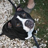 Pit Bull Terrier/Boxer Mix Dog for adoption in Hankamer, Texas - Matrix