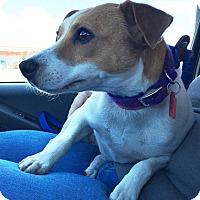 Adopt A Pet :: Sandy in Dallas - Dallas/Ft. Worth, TX
