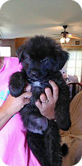 Border Collie/Newfoundland Mix Puppy for adoption in Tiptonville, Tennessee - Cong