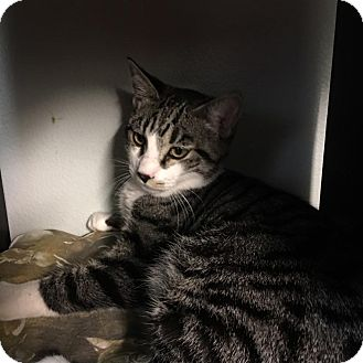 Domestic Shorthair Cat for adoption in Westminster, California - Walnut