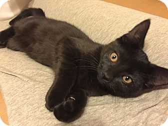 Domestic Shorthair Kitten for adoption in Barrington, New Jersey - Raven