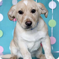 Adopt A Pet :: Ombre - Waldorf, MD