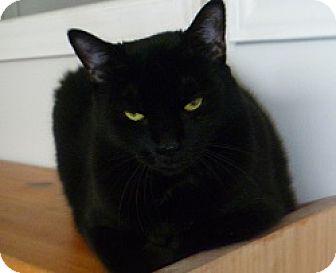 Domestic Shorthair Cat for adoption in Hamburg, New York - Pepper Ann