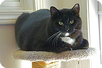 American Shorthair Cat for adoption in Victor, New York - Toby