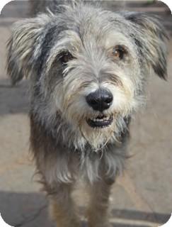 Schnauzer (Miniature) Mix Dog for adoption in Norwalk, Connecticut - Sealy