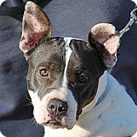 Adopt A Pet :: Burma - Marion, NC