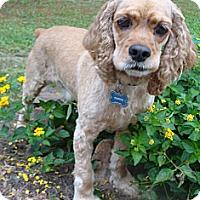 Adopt A Pet :: Cooper - Sugarland, TX