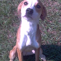 Beagle/Boxer Mix Dog for adoption in Orange Lake, Florida - Benji